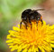 Stock Image : Macro of feeding bumble bee