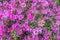 Magenta Azaleas - Background