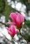 Stock Image : Magnolia