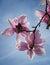 Stock Image : Magnolia Blossom Tree