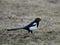 Stock Image : Magpie