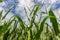 Stock Image : Maize field