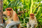 Stock Image : Male and female Proboscis Monkeys in the mangroves