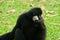 Stock Image : Male White-cheeked gibbon (Nomascus leucogenys)