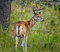 Stock Image : Male Whitetail Deer