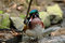 Stock Image : Male Wood Duck Posing