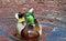 Stock Image : Mallard Duck