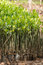 Stock Image : Mangrove seedlings