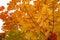 Stock Image : Maple in autumn