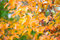 Stock Image : Maple Leaves