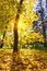 Stock Image : Maple tree in sunny autumn park
