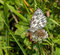 Stock Image : Marbled White Butterfly