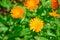 Stock Image : Marigold flowers