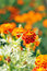 Stock Image : Marigolds