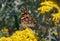 Stock Image :  mariposa pintada de la señora