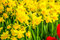 Stock Image : Market with yellow daffodils