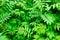 Stock Image : Meadowsweet leaves