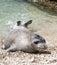 Stock Image : Mediterranean monk seal