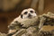 Stock Image : Meerkat