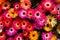Stock Image : Mesembryanthemum, Daisy