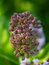 Stock Image : Milk Weed Buds