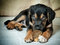 Stock Image : Mixed rotweiler puppy