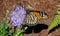 Stock Image : Monarch butterfly profile on purple flower