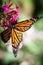 Stock Image : Monarch Danaus Plexippus