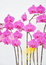 Stock Image : Moth orchid flowers isolated