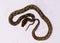 Stock Image : Motley mutation Reticulated Python (Python reticulatus)