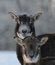 Stock Image : Mouflon