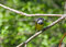 Stock Image : Mourning Warbler