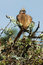 Stock Image : Mousebird Coliiformes