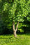 Stock Image : Mulberry Tree