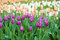 Stock Image : Multicolored tulips