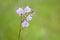 Stock Image : Murdannia Giganteum flower