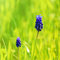 Stock Image : Muscari