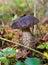 Stock Image : Mushroom a rough boletus