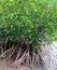 Stock Image : Namorzynowy drzewo
