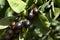 Stock Image : Natural olive branch.