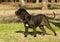 Stock Image : Neapolitan Mastiff