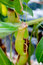Stock Image : Nepenthes pitcher plant