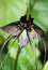 Stock Image :  Nietoperza kwiatu czerni rozmaitość