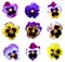 Stock Image : Nine Pansies