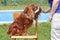 Stock Image : Nonszalancki królewiątka Charles spaniel