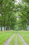 Stock Image : Oak Allee