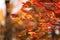 Stock Image : October Glory Maple Background