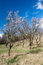 Stock Image : Old almond orchard