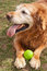 Stock Image : Old Dog and his Ball