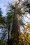 Stock Image : Old growth cedar in autumn
